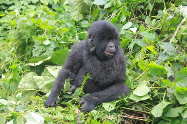 Gorilla trekking in the DRC - my #1 wildlife moment to date.