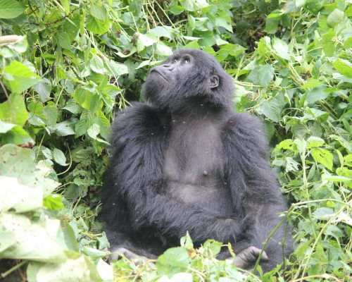 Gorilla Trekking in Africa - The Wanderlust Effect