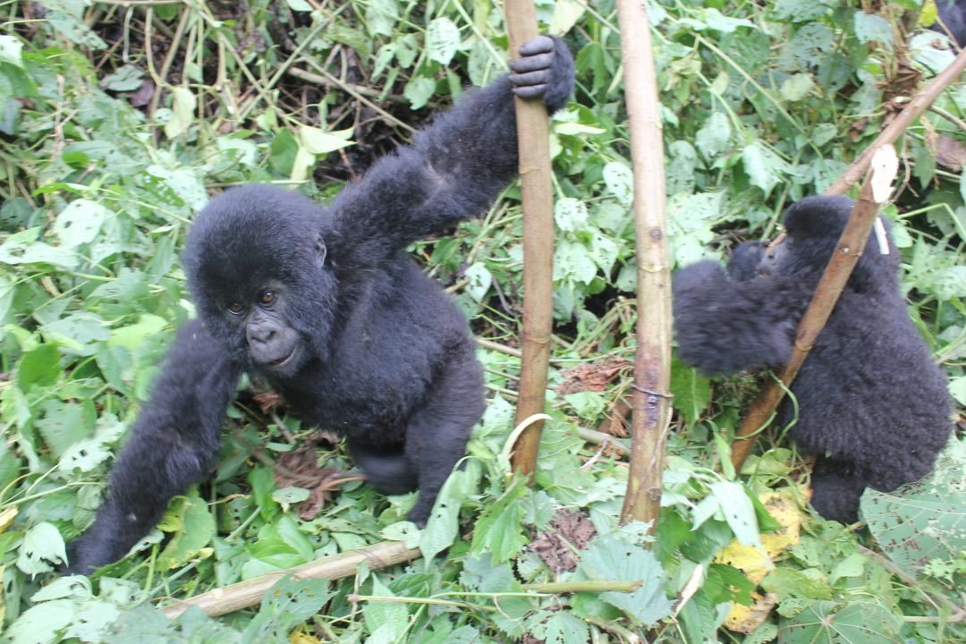 Gorilla Trekking in the Congo, Virunga National Park