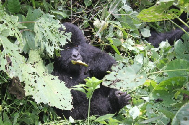 Gorilla Trekking in the Congo, The Wanderlust Effect