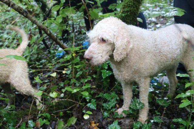 Truffle Hunting with Karlic Tartufi
